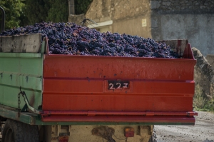 Grapes in a truck