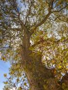 Plane tree from below