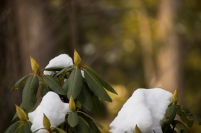 Snow on rhododendron