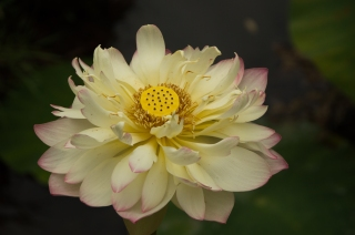 White Water Lily 1