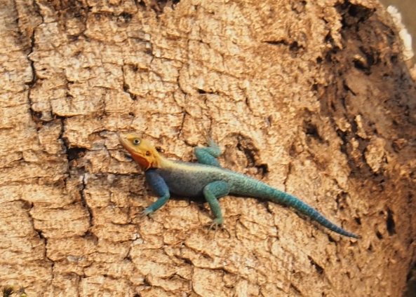 Agama Lizard.jpg