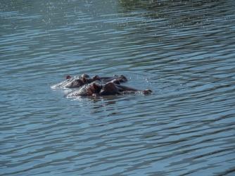 Hippos-2
