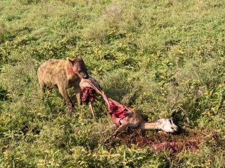 Hyena Pulling Gazelle.jpg