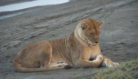 Lioness Ngorongoro