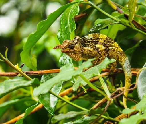 Male Chameleon.jpg