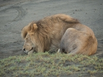 Male Lion Ngorongoro 2