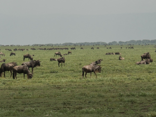 Many Wildebeests.jpg
