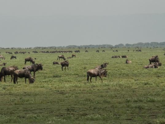 Many Wildebeests.jpg