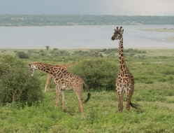 Small Tower of Giraffes