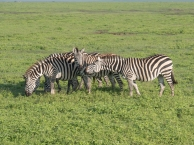 Zebra Meeting
