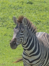 Baby Zebra Head and Shoulders