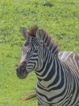 Baby Zebra Head and Shoulders