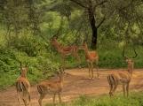Gazelles on Alert