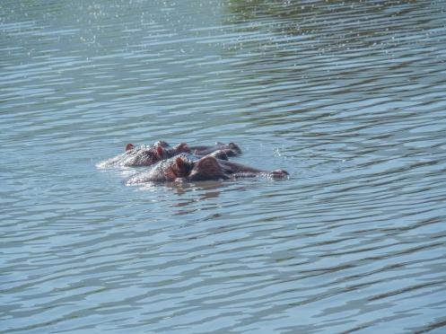 Hippos-2.jpg