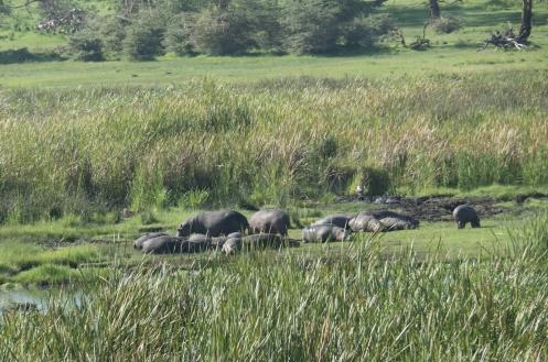 Hippos Sunbathing.jpg