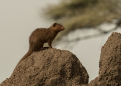Mongoose Closeup