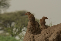 Mongoose Sentinels