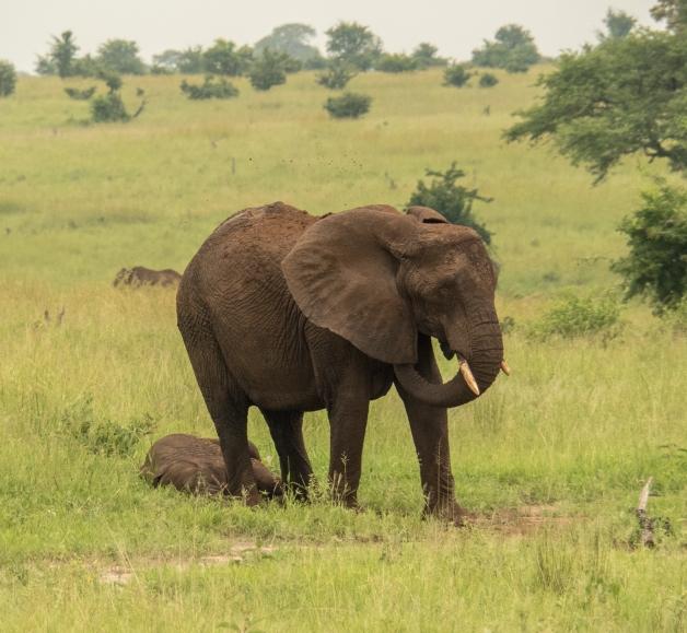 Mother Elephant Grieving.jpg