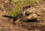 Red-Billed Hornbill Posing