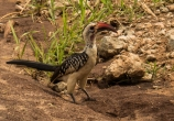 Red-Billed Hornbill Posing