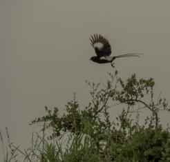 Shrike Flying