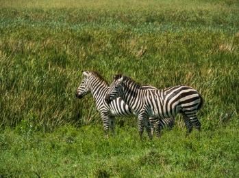 Two Zebras.jpg