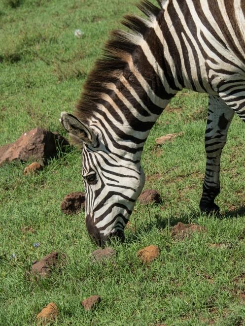 Zebra Graziing Closeup.jpg
