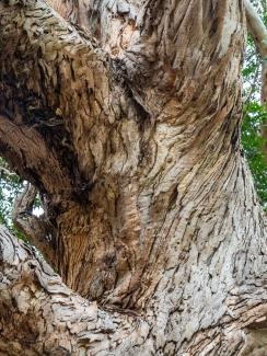 eucalyptus trunk