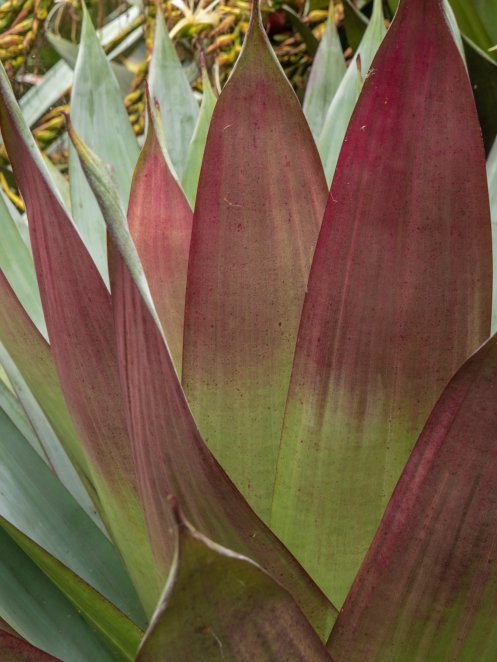 imperial bromeliad-2