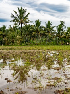 Fallow RiceField with Reflections