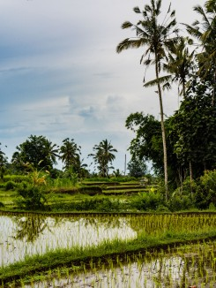 Terraced Field with Palm